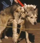 Image of fatally attacking husky dog in a homemade cast